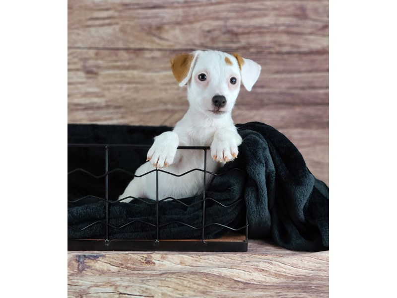 Jack Russell Terrier-DOG-Male-White and Red-2810678-Petland Orlando South