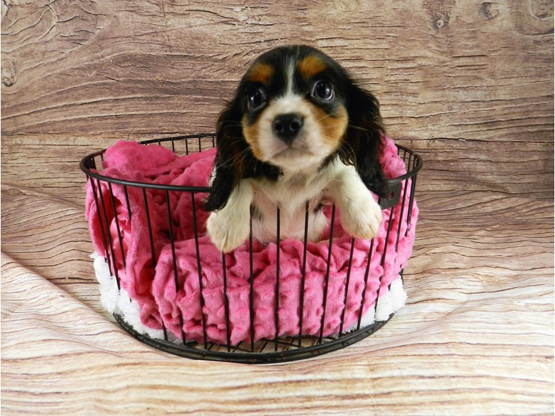 Cavalier King Charles Spaniel-Male-Black and White-2818375-Petland Orlando South