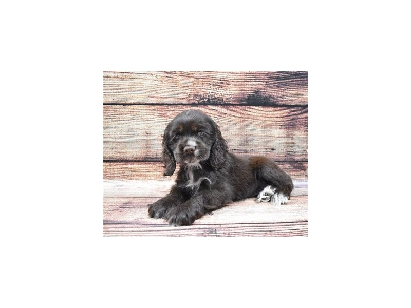 Cocker Spaniel-Female-Brown-2826026-Petland Orlando South