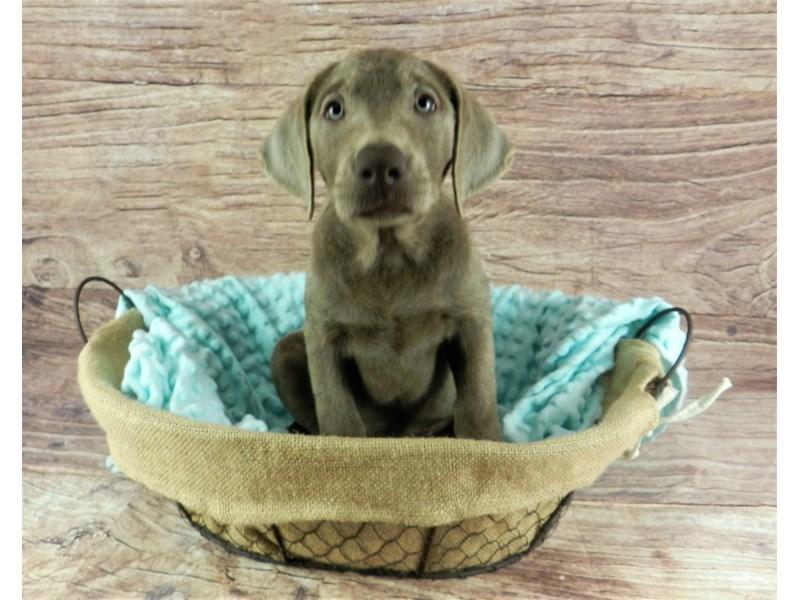 Labrador Retriever-Female-Silver-2827378-Petland Orlando South