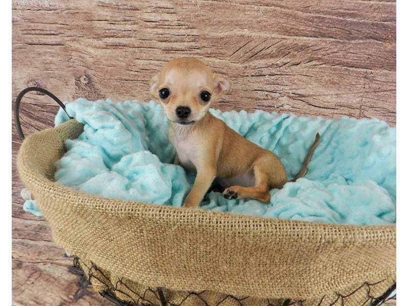 Chihuahua-Female-Red Fawn-2826586-Petland Orlando South