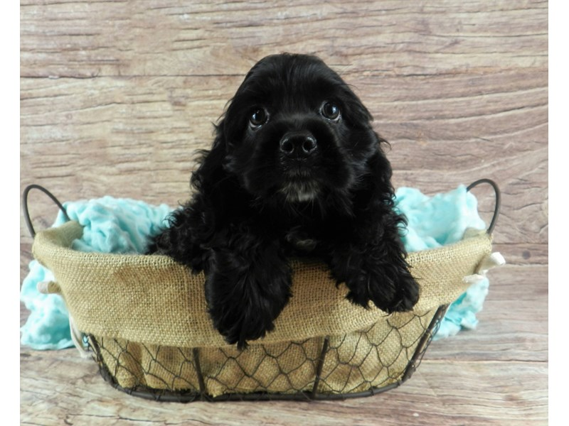 Cocker Spaniel-Female-Black-2826555-Petland Orlando South