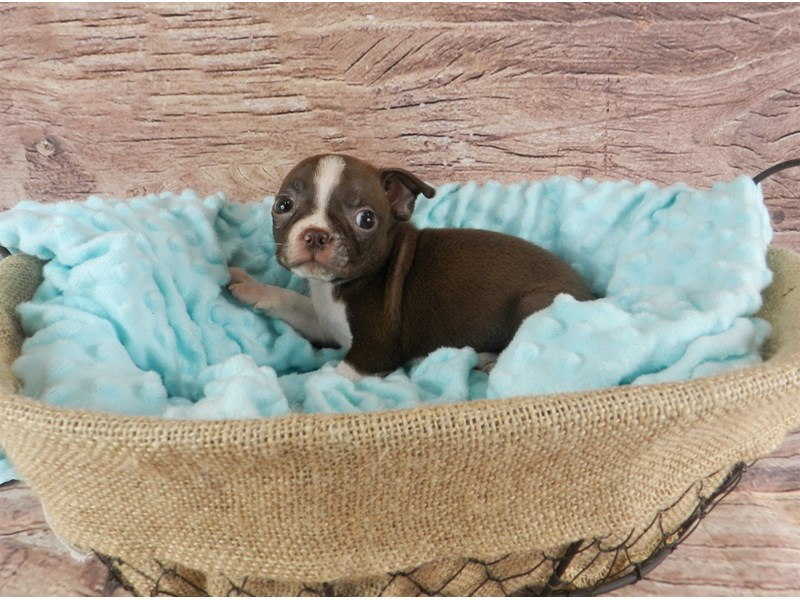 Boston Terrier-Male-Red and White-2826622-Petland Orlando South