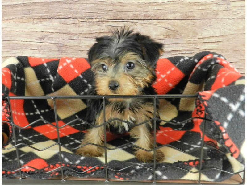 Yorkshire Terrier-Female-black and tan-2834149-Petland Orlando South