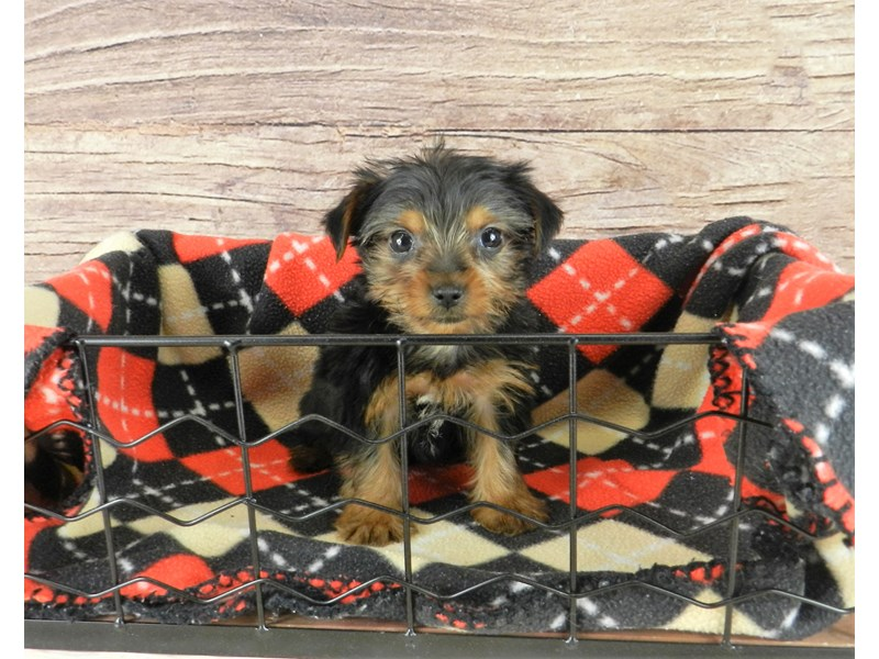 Yorkshire Terrier-Female-black and tan-2834146-Petland Orlando South