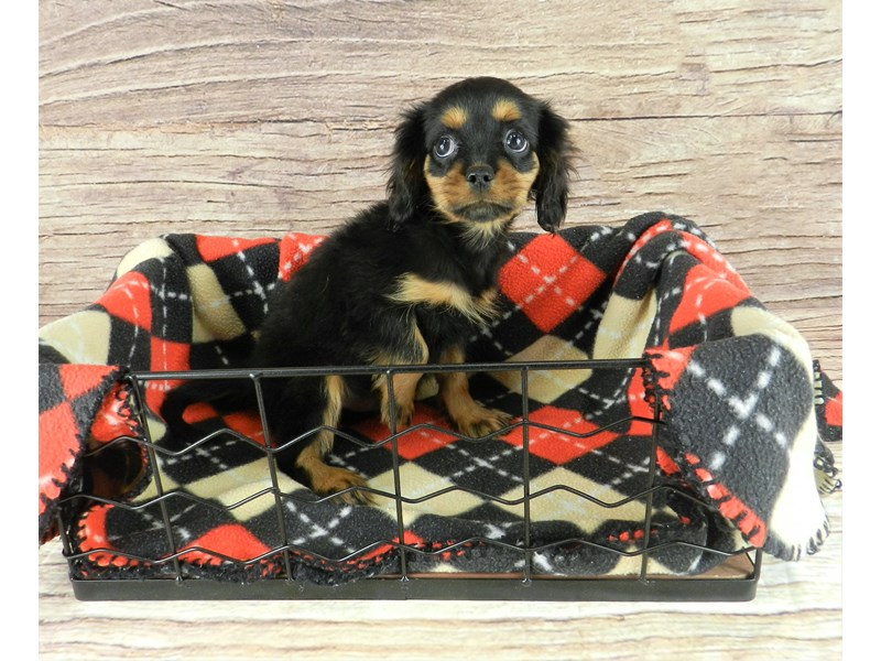 Cavalier King Charles Spaniel-Male-Black and Tan-2834043-Petland Orlando South