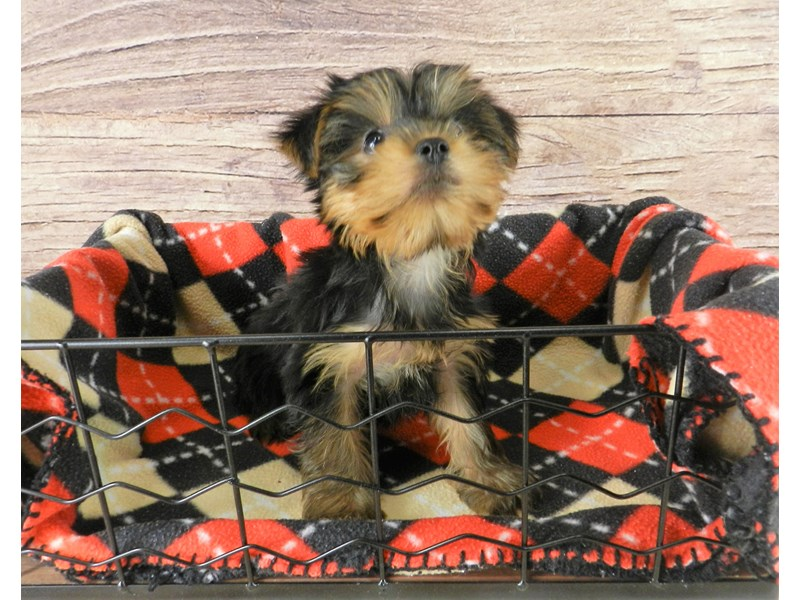 Yorkshire Terrier-Female-Black and Tan-2832526-Petland Orlando South