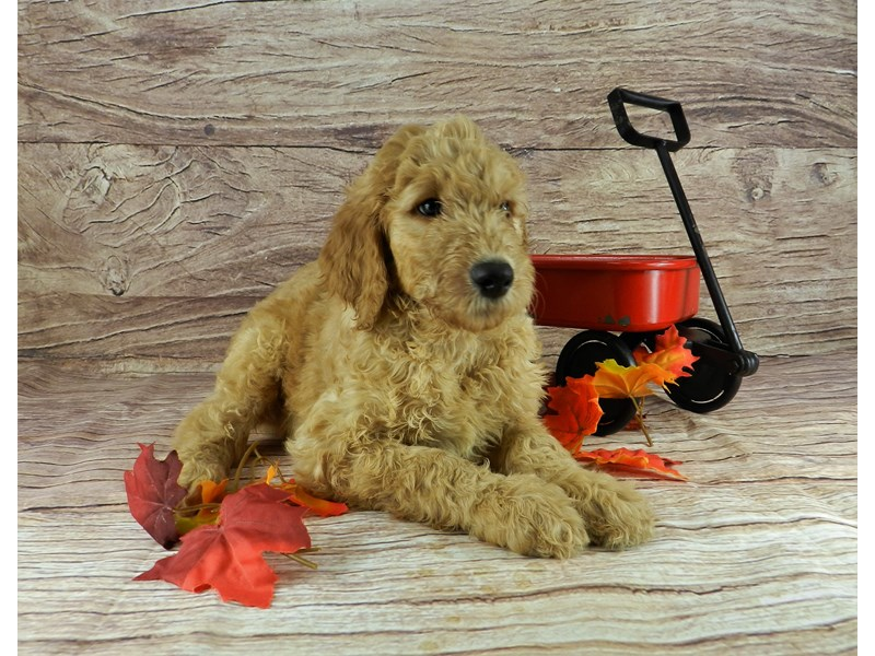 Goldendoodle-Male-Light Red-2841955-Petland Orlando South