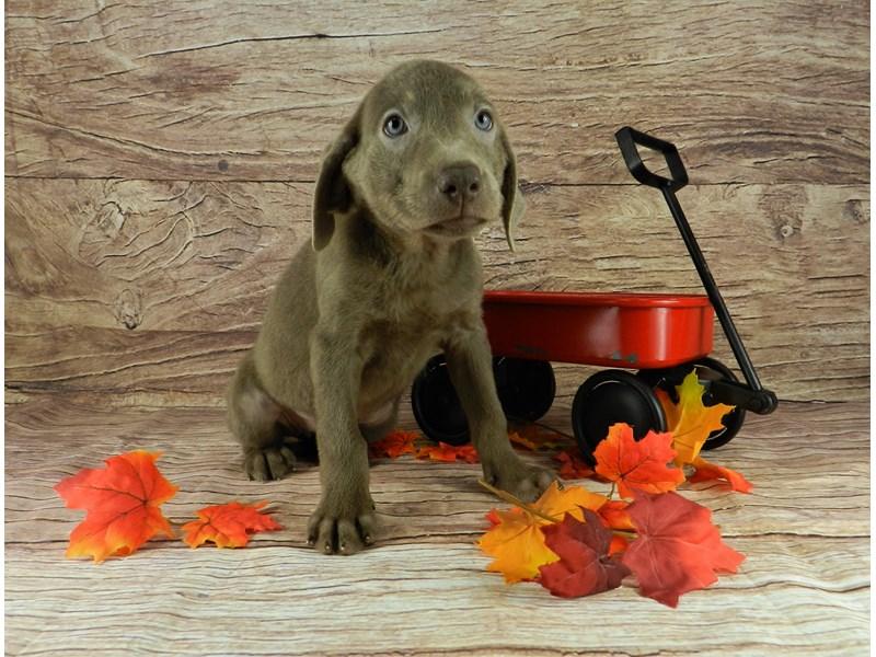 Labrador Retriever-Female-Silver-2841333-Petland Orlando South