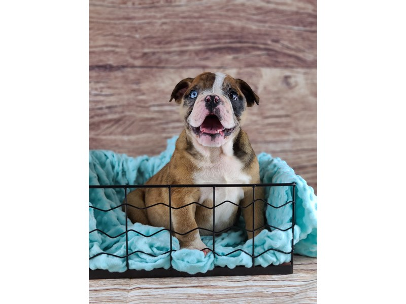 English Bulldog-Female-Red and White-2795713-Petland Orlando South
