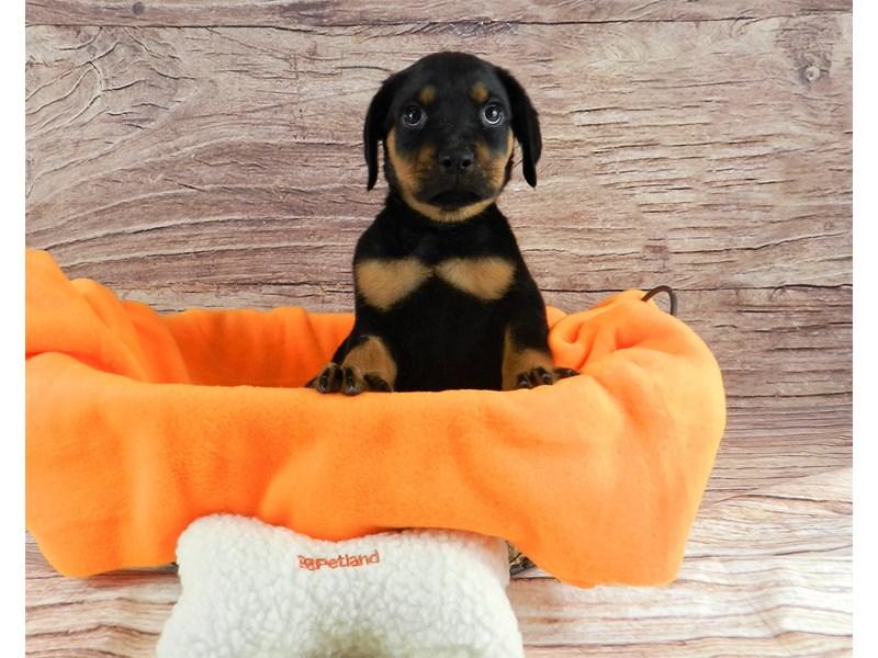 Rottweiler-Female-Black and Rust-2855772-Petland Orlando South