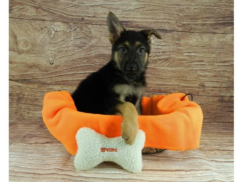 German Shepherd-Male-BLACK AND TAN-2856596-Petland Orlando South