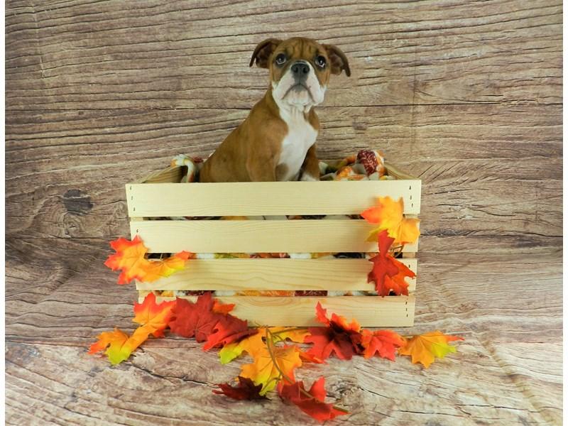 English Bulldog-Female-RED BRINDLE-2863692-Petland Orlando South