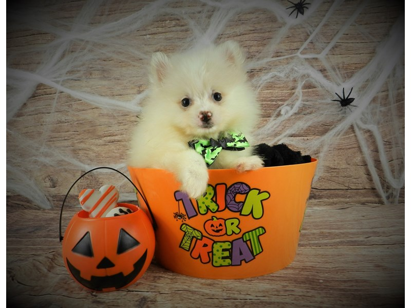 Pomeranian-Male-Cream-2884738-Petland Orlando South