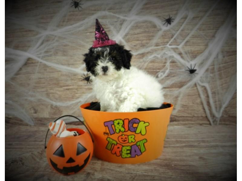 Miniature Poodle-Female-Black and White-2884730-Petland Orlando South