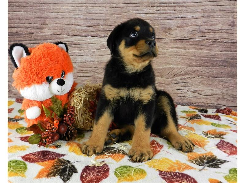 Rottweiler-Male-Black and Mahogany-2905171-Petland Orlando South