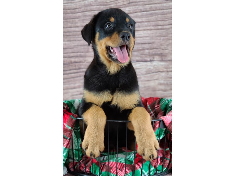 Rottweiler-Male-Black and Mahogany-2933213-Petland Orlando South