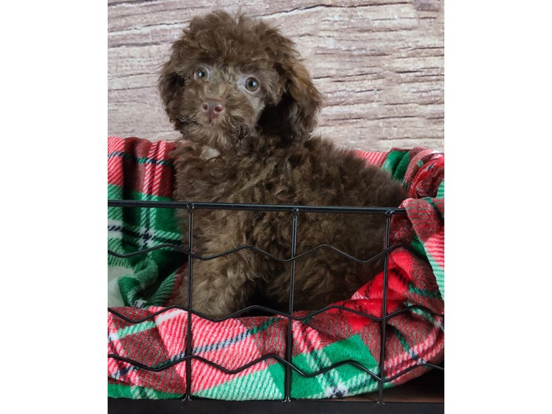 Poodle-Male-Chocolate-2935312-Petland Orlando South