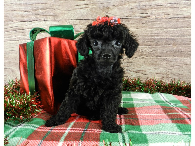 Poodle-Female-Black-2941859-Petland Orlando South
