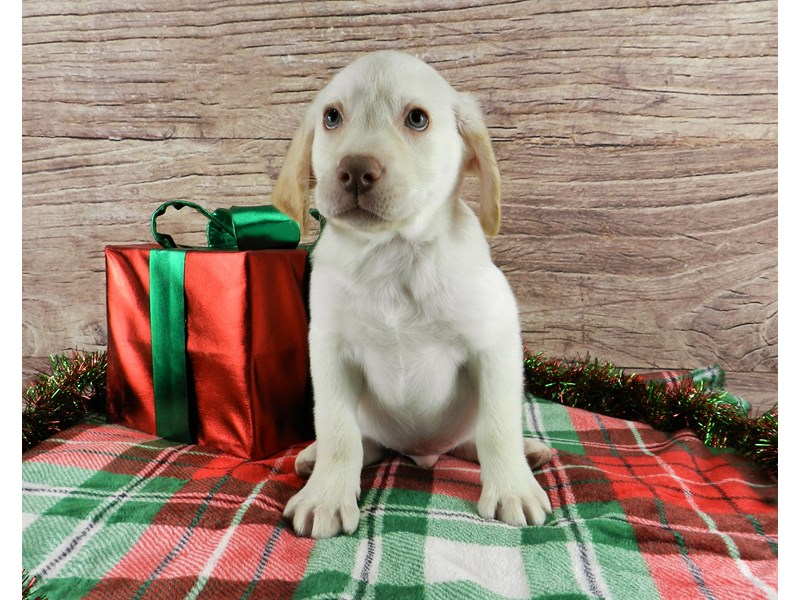 Labrador Retriever-Male-Yellow-2941856-Petland Orlando South
