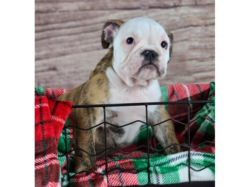 English Bulldog-Male-Red Brindle and White-2933186-Petland Orlando South