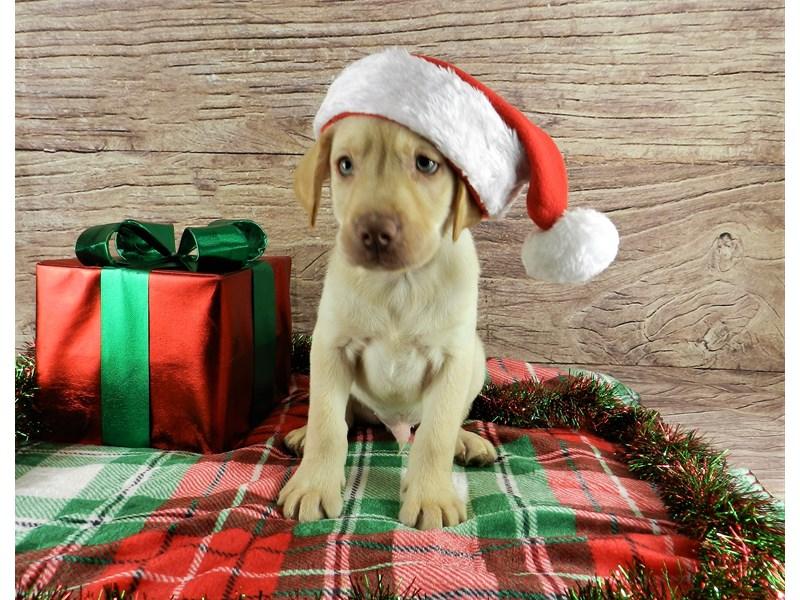 Labrador Retriever-Male-Yellow-2940935-Petland Orlando South