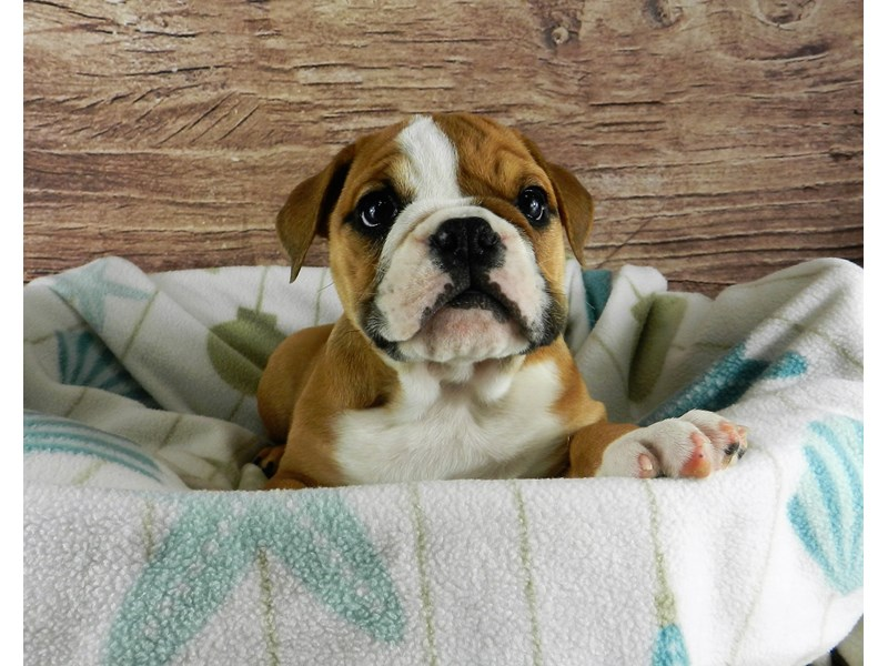 English Bulldog-Female-Red and White-2956316-Petland Orlando South