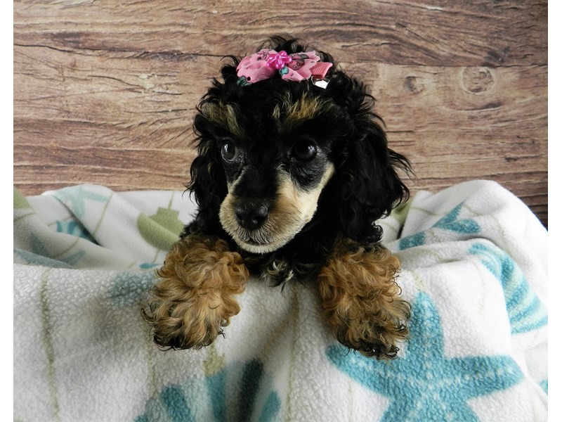 Poodle-Female-BLACK AND TAN-2957731-Petland Orlando South