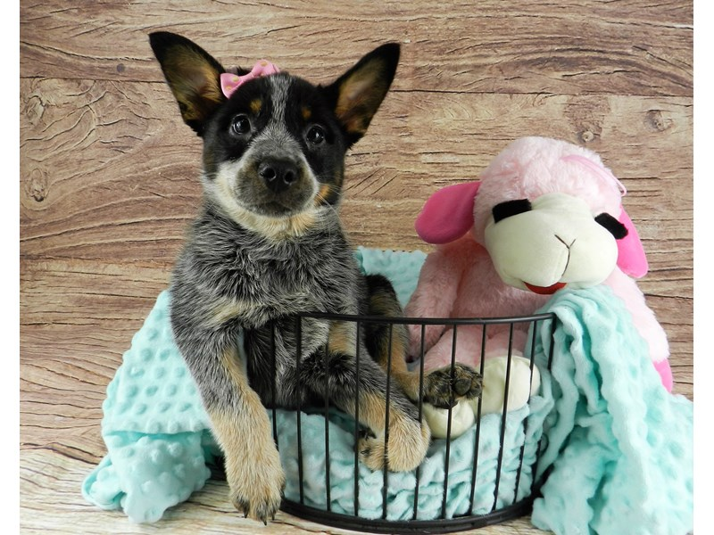 Australian Cattle Dog-Female-Blue Mottled-2973111-Petland Orlando South