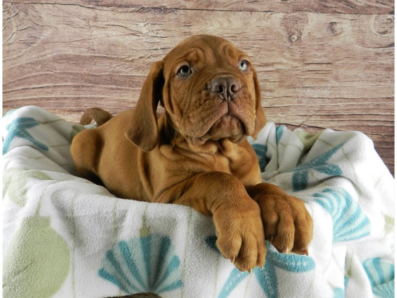 Dogue De Bordeaux-Female-RED WITH WHITE PATCHES-2957695-Petland Orlando South