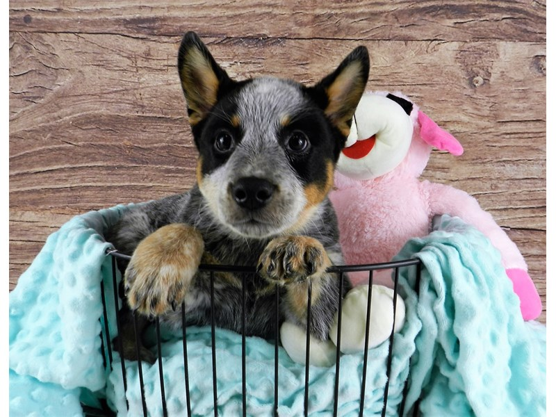 Australian Cattle Dog-Male-Blue Mottled-2973117-Petland Orlando South