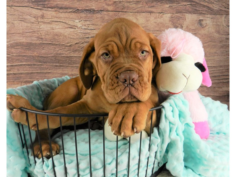 Dogue De Bordeaux-Male-fawn-2973986-Petland Orlando South