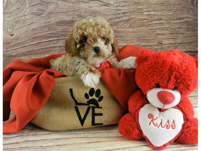 Miniature Poodle-Male-Red and white-2999564-Petland Orlando South