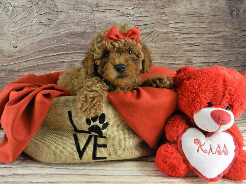 Miniature Poodle-Female-Red-2999561-Petland Orlando South