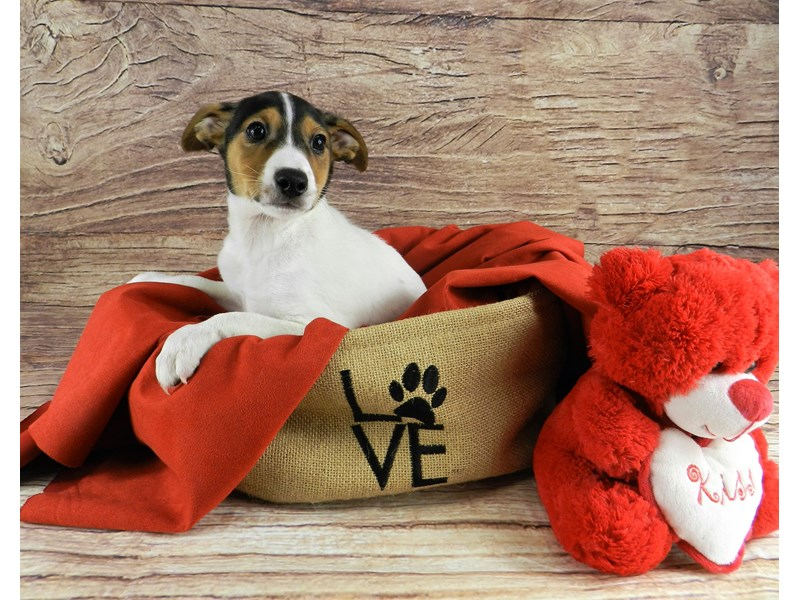 Jack Russell Terrier-Male-Whit and black-2999370-Petland Orlando South