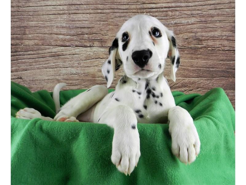 Dalmatian-Female-White and black-3028718-Petland Orlando South