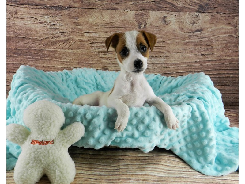 Jack Russell Terrier-Female-White and red-3047957-Petland Orlando South