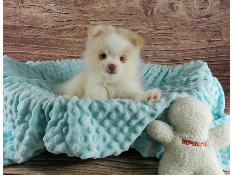 Pomeranian-Male-White and fawn-3047847-Petland Orlando South