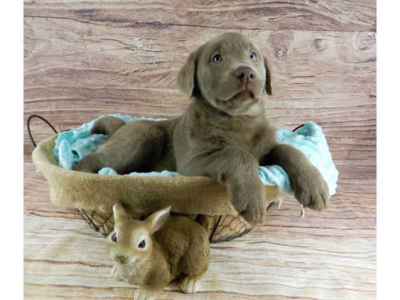Labrador Retriever-Female-Silver-3058914-Petland Orlando South