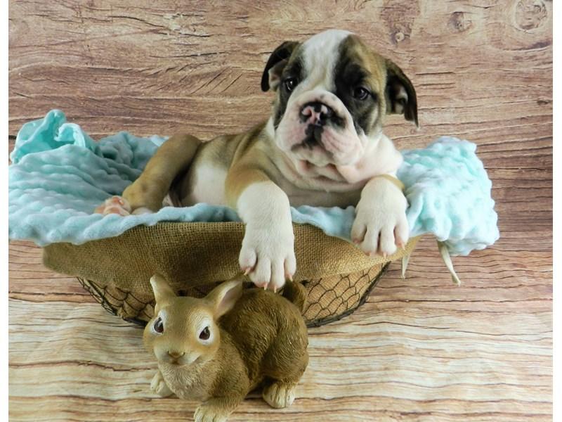English Bulldog-Male-Fawn and White-3056656-Petland Orlando South