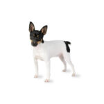 Petland Orlando South Toy Fox Terrier
