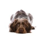 Petland Orlando South German Wirehaired Pointer