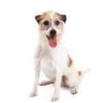 Petland Orlando South Jack Russell Terrier