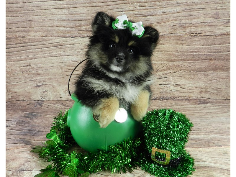 Pomeranian-Female-Black and tan with white markings-3038028-Petland Orlando South