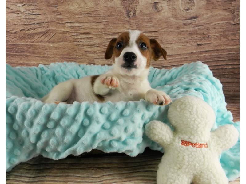Jack Russell Terrier-Male-White and red-3047952-Petland Orlando South