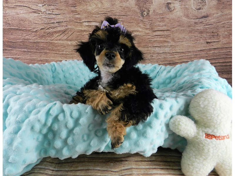 Poodle-Female-Black and tan with white markings-3047908-Petland Orlando South