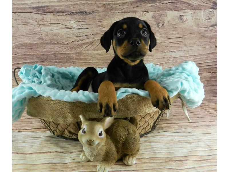 Rottweiler-Female-Black and Mahogany-3056830-Petland Orlando South