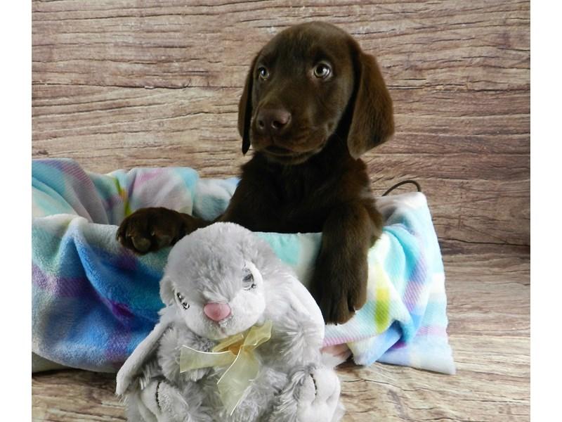 Labrador Retriever-Male-Chocolate-3067827-Petland Orlando South