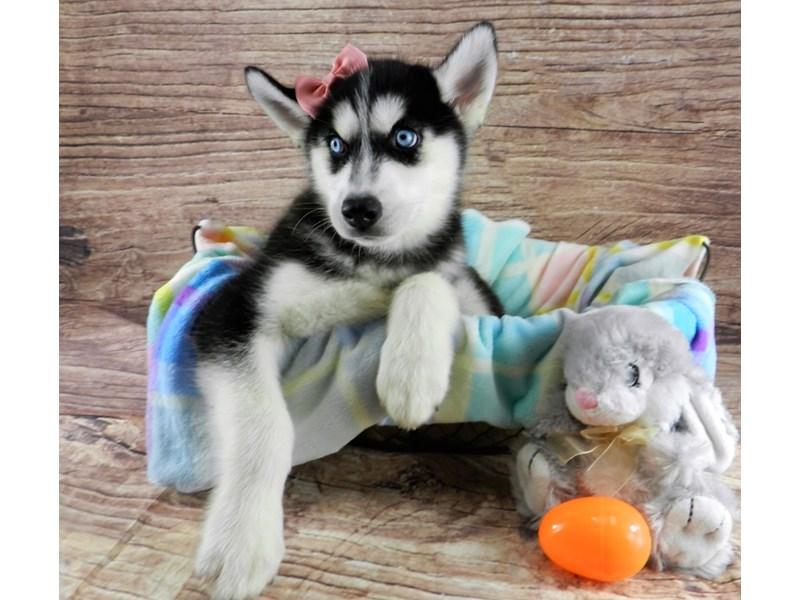 Siberian Husky-Female-Black and white-3069528-Petland Orlando South