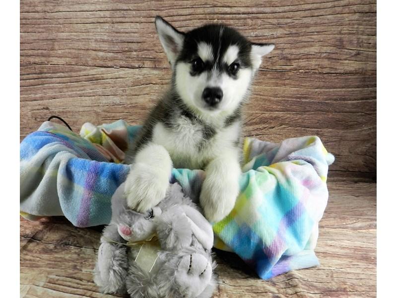 Siberian Husky-Male-Black and white-3069524-Petland Orlando South